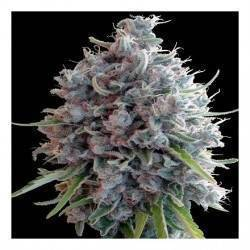 Killer A5 Haze · Ace Seeds...