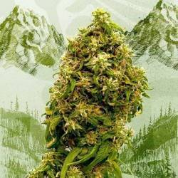 SWISS DREAM CBD · Kannabia...