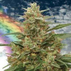 MANDALA I · cannabis Seeds...