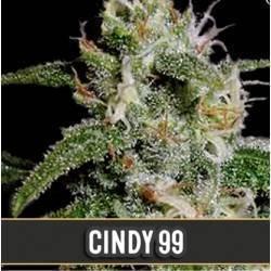 Cindy 99 · Blimburn Seeds