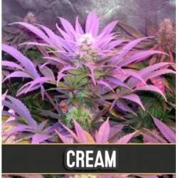 Cream Auto · Blimburn Seeds