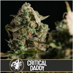 Critical Daddy Purple