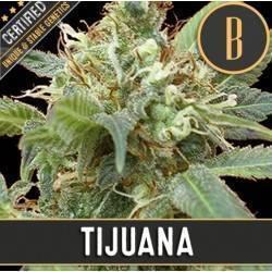 Tijuana · Blimburn Seeds