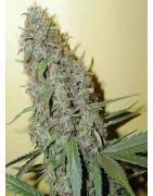 Cannabis CHEESE Strains
